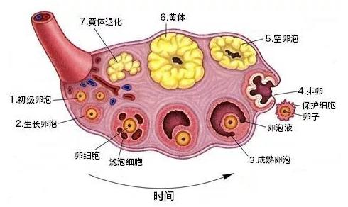 试管婴儿专家教你如何保养卵巢!-华夏试管网